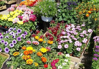 Jakie kwiaty balkonowe sadzić na słonecznym, a jakie na zacienionym balkonie?