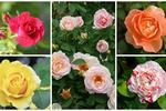 Róże w ogrodzie: odmiany i uprawa. Najpiękniejsze odmiany róż
