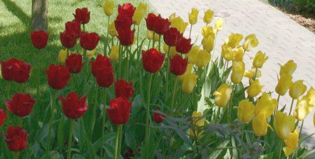Rośliny cebulowe: gdzie posadzić cebule - tulipany na rabacie